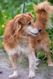 Rode hond pooch voor een gang in de zomer royalty-vrije stock afbeelding