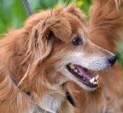 Rode hond pooch voor een gang in de zomer stock foto's