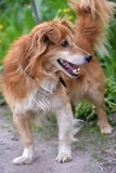 Rode hond pooch voor een gang in de zomer stock afbeeldingen