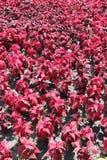 Rode Hoofdzonsiernetel in decoratieve de zomertuin Stock Afbeeldingen
