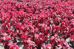 Rode Hoofdzonsiernetel in decoratieve de zomertuin stock afbeelding