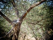 Rode Hornbills Stock Foto