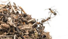 Rode houten dichte omhooggaand van mieren Formica rufa Stock Foto's