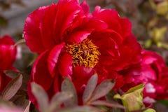 Rode hybride Itoh-Pioen die in de lentetuin bloeien stock foto's