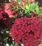 Rode hydrangea hortensia Stock Afbeelding