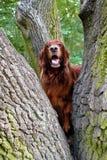 Rode Ierse zetterachtervolging van een eekhoorn stock fotografie