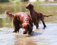 Rode Ierse Zetters die zich bij rivier bevinden Royalty-vrije Stock Fotografie