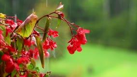 Rode impatiensbloem op groene achtergrond in regen stock videobeelden