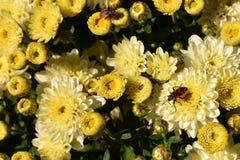 Rode insecten Stock Fotografie