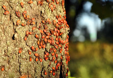 Rode insecten die op de boomboomstam zitten stock foto's