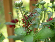 Rode insecten op installatie Stock Foto's
