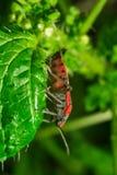 rode insectenzitting op extreme dichte omhooggaand van het grasblad stock foto's
