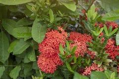Rode Ixora-bloem met regendalingen en verlichting van zonneschijn in de tuin op de achtergrond van de onduidelijk beeldaard stock afbeelding