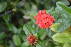 Rode Ixora-bloem in tuin Royalty-vrije Stock Afbeeldingen