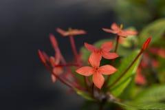 Rode Ixora, Rubiaceae-bloemen die op de groene installatie bloeien Stock Foto