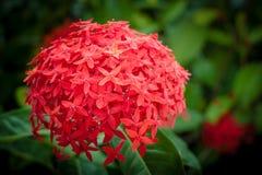 Rode ixorabloemen Stock Afbeelding