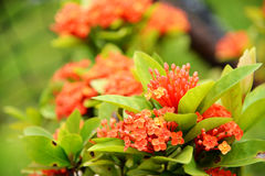 Rode ixorabloemen Stock Afbeeldingen