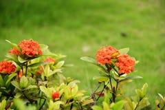 Rode ixorabloemen Stock Foto's