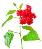 Rode Japans nam, Rosa rugosa, hibiscus rosa-sinensis toe Royalty-vrije Stock Afbeeldingen