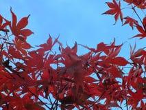 Rode Japanse esdoorn Royalty-vrije Stock Foto's