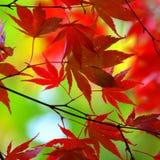 Rode Japanse esdoornbladeren Stock Afbeelding