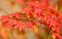 Rode Japanse esdoornbladeren bij daling Stock Afbeelding