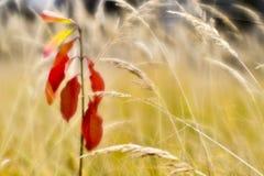 Rode jonge Euonymus op de achtergrond van droog lang gras in de herfst De ondiepe diepte van gebiedsfoto's werd gevergd op zachte stock afbeelding