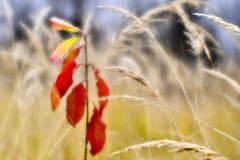 Rode jonge Euonymus op de achtergrond van droog lang gras in de herfst De ondiepe diepte van gebiedsfoto's werd gevergd op zachte royalty-vrije stock fotografie