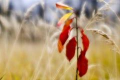 Rode jonge Euonymus op de achtergrond van droog lang gras in de herfst De ondiepe diepte van gebiedsfoto's werd gevergd op zachte stock foto