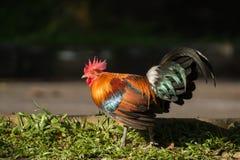 Rode junglefowl loopt op een grond stock fotografie