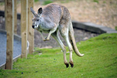 Rode Kangoeroe Royalty-vrije Stock Afbeeldingen