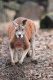 Rode kangoeroe Stock Fotografie