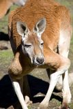 Rode Kangoeroe Stock Foto's