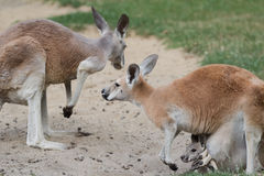 Rode kangoeroe of Macropus-rufusfamilie met joey Royalty-vrije Stock Foto