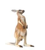 Rode Kangoeroe op Wit Stock Afbeeldingen