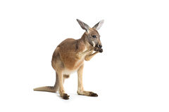 Rode Kangoeroe op Wit Royalty-vrije Stock Fotografie
