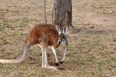 Rode kangoeroe in weide Royalty-vrije Stock Foto