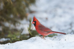 Rode kardinaal Royalty-vrije Stock Foto