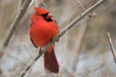 Rode kardinaal Royalty-vrije Stock Fotografie