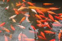 Rode karpervissen Royalty-vrije Stock Afbeelding