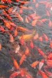Rode karpervissen Stock Afbeelding
