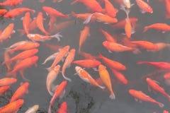 Rode karpervissen Stock Afbeeldingen