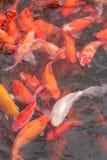 Rode karpervissen Royalty-vrije Stock Foto