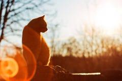 Rode kat bij zonsondergang Stock Afbeeldingen