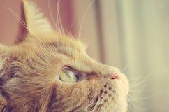 Rode kat, close-up Het stemmen in de stijl van instagram close-up, zachte nadruk royalty-vrije stock foto's