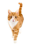 Rode kat, die naar camera lopen, in wit wordt geïsoleerd royalty-vrije stock fotografie