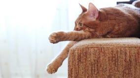 Rode kat die op de laag liggen en zorgvuldig voor hem kijken stock footage