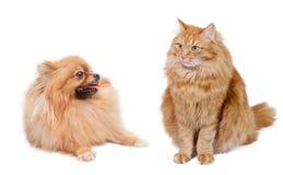 Rode kat en grappige pomeranian royalty-vrije stock afbeelding