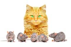 Rode kat het letten op ratten royalty-vrije stock afbeeldingen