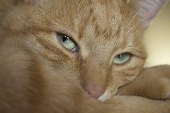 Rode kat met groene ogen Royalty-vrije Stock Fotografie